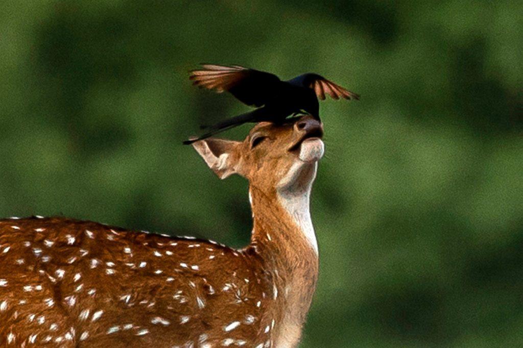 Bird lands on the nose of baby deer