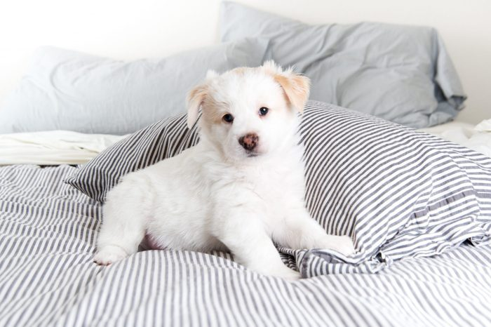 Almost Completely White Fluffy Puppy Sitting on Striped Human Bed