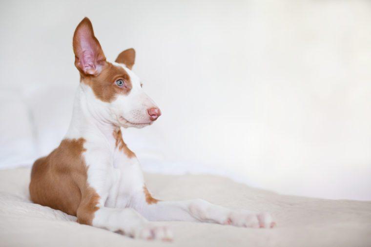 Ibizian hound