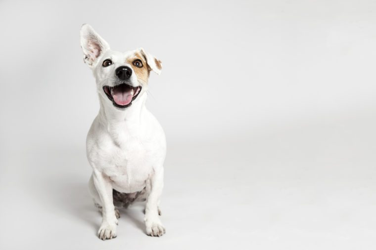 Studio portrait of the dog on the white background