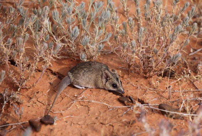 A Stripe-faced Dunnart, a small carnivorous marsupial, in outback Australia's desert.