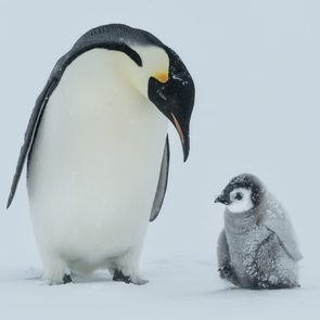 baby penguin and mom