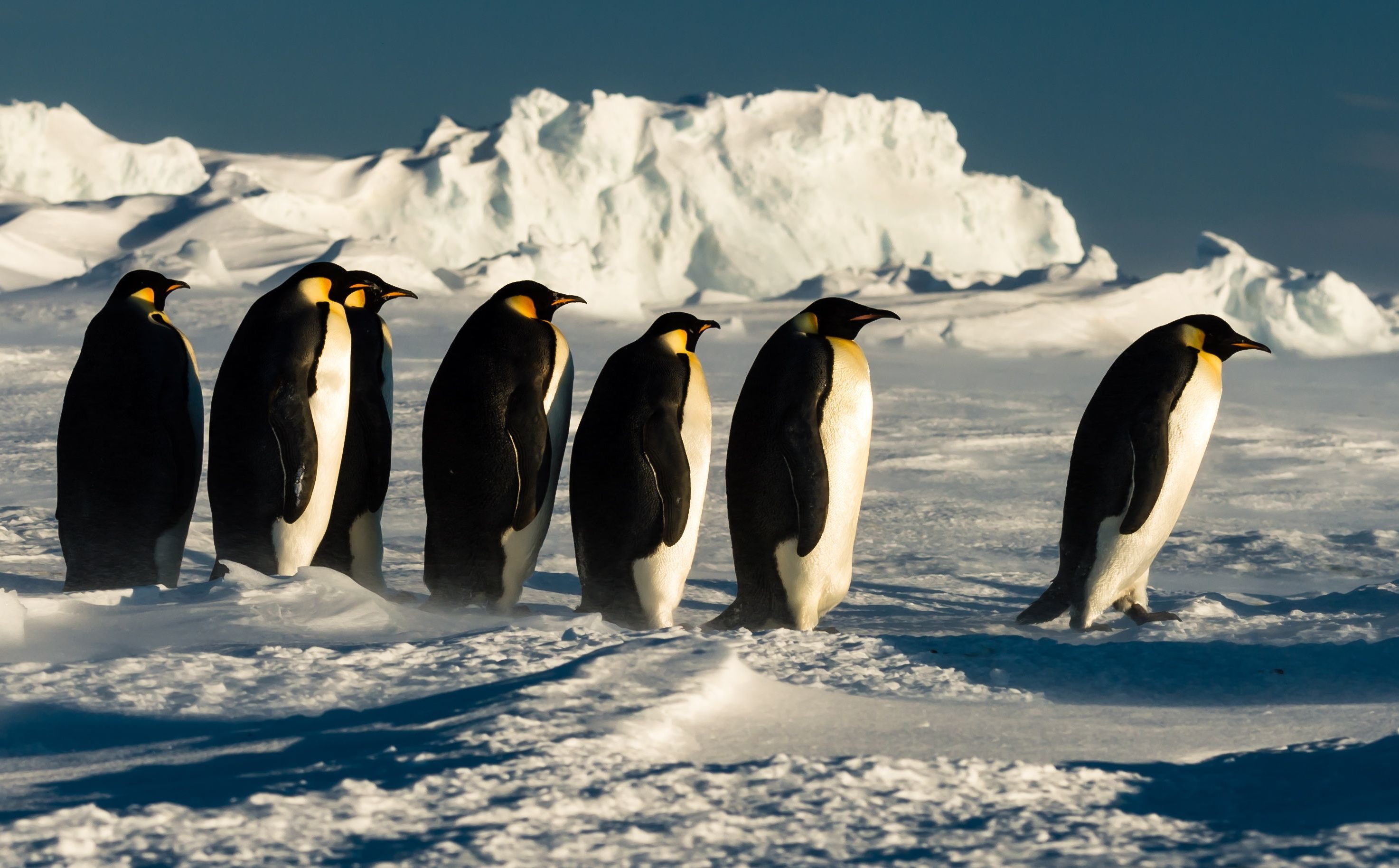 Mandatory Credit: Photo by Riehle Gunther/Solent News/Shutterstock (5540026i) A line of adult penguins Emperor penguins in Antarctica - Dec 2015 *Full story: http://www.rexfeatures.com/nanolink/rtnf A group of penguin chicks huddle together for warmth during a heavy snowstorm. The fluffy grey chicks were part of a colony of around 300 Emperor Penguins and came together to keep warm in the below freezing temperatures. Emperor Penguin parents take it in turns to look after their chick with both mother and father feeding and caring for their young. Heavy snowstorms, where temperatures are around -9 degrees Celsius, are a common occurrence in Antarctica. To avoid the strong, cold winds from the snowstorm Emperor Penguins will sometimes lie on their stomachs facing against the wind to lessen wind exposure. Food technology engineer Gunther Riehle spent seven nights in Antarctica when the snowstorms were so severe he was unable to fly out earlier.