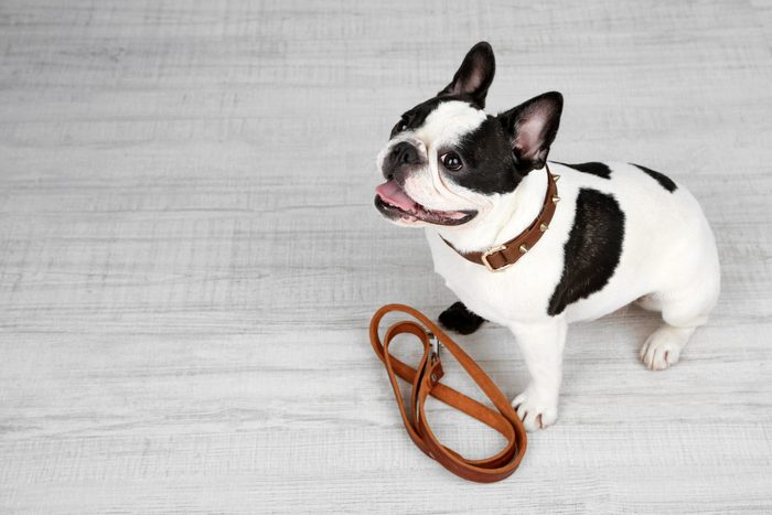 Cute French bulldog with leash in room