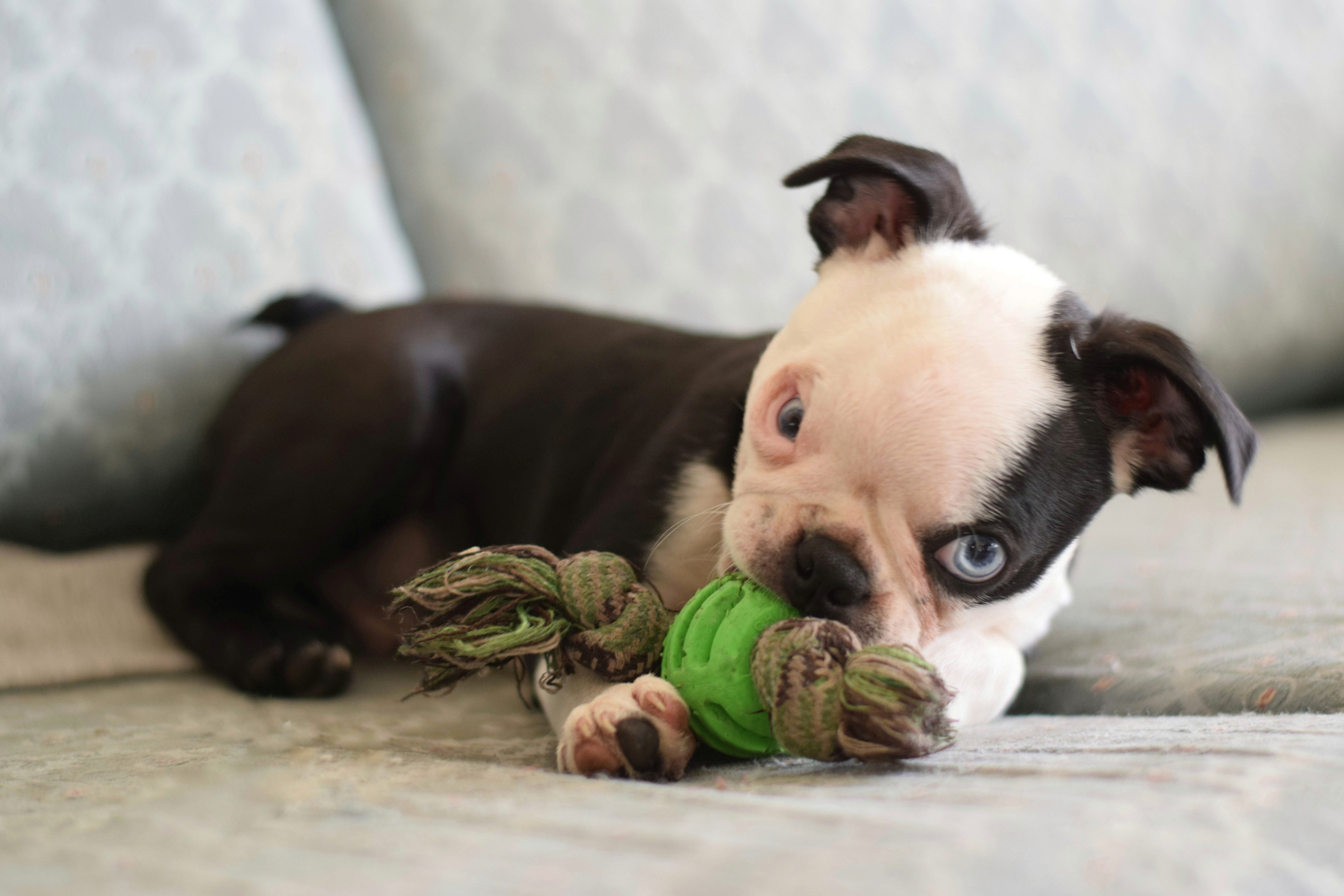 boston terrier puppy playing with toy