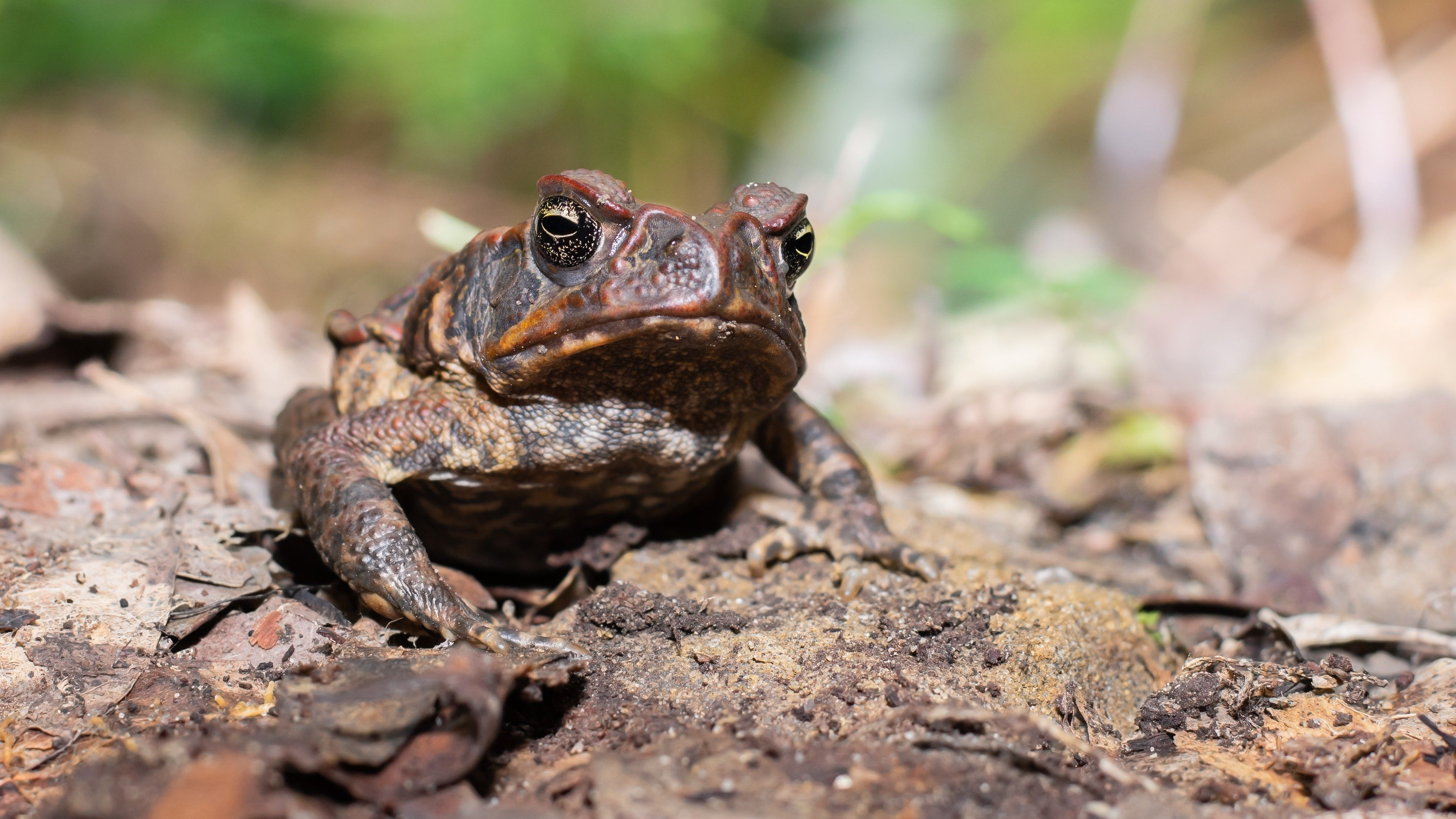Photos of wild frogs from Australia - Cane Toad
