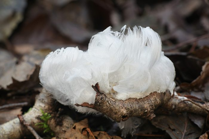 Hair ice, also known as ice wool or frost beard, result from the breathing of a fungus Exidiopsis effusa.