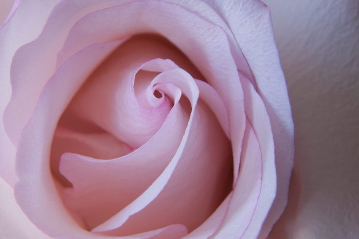 Close up on light pink rose. Top view macro.