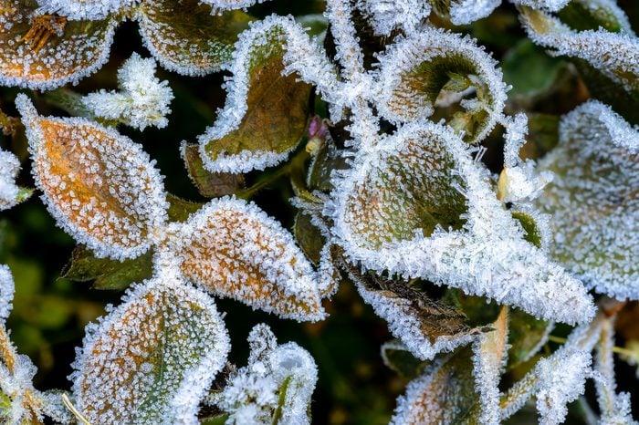 Foliage in hoarfrost on a sunny morning. Hoarfrost in winter. Frosty patterns