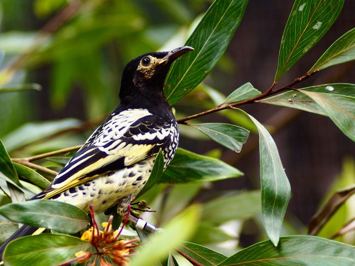 Remarkable Rare Regent Honeyeater with a Sharp-Eye & Exquisite Plumage.