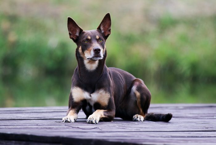 Summer portrait of smart chocolate brown and sable tan working Australian kelpie dog. Attractive national breed of Australia Australian sheep dog lies on a wooden pier outside with green background