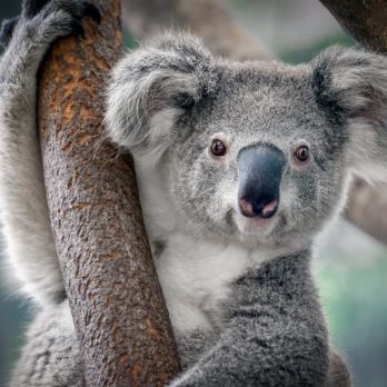How Many Koalas Are Left in the World?