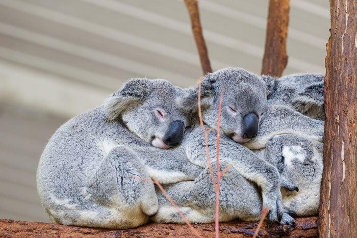 Koalas sleeping , Brisbane
