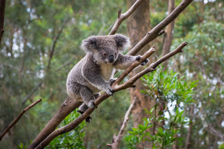 A wild Koala climbing a tree. soft focus