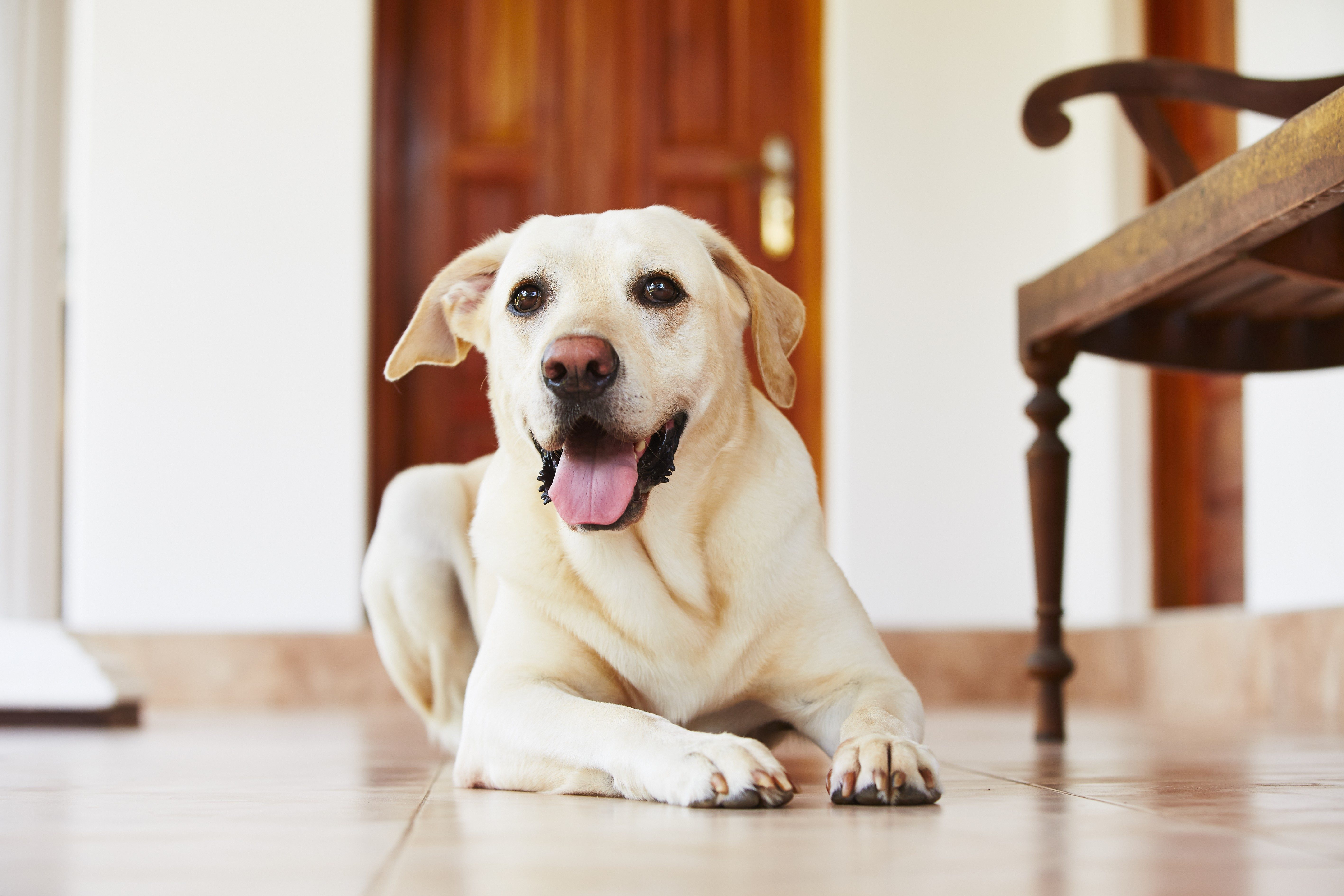 Labrador retriever is lying on the floor at home.