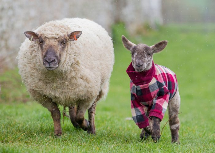 an ewe walks with a lamb. the lamb has on a red checked sweater.