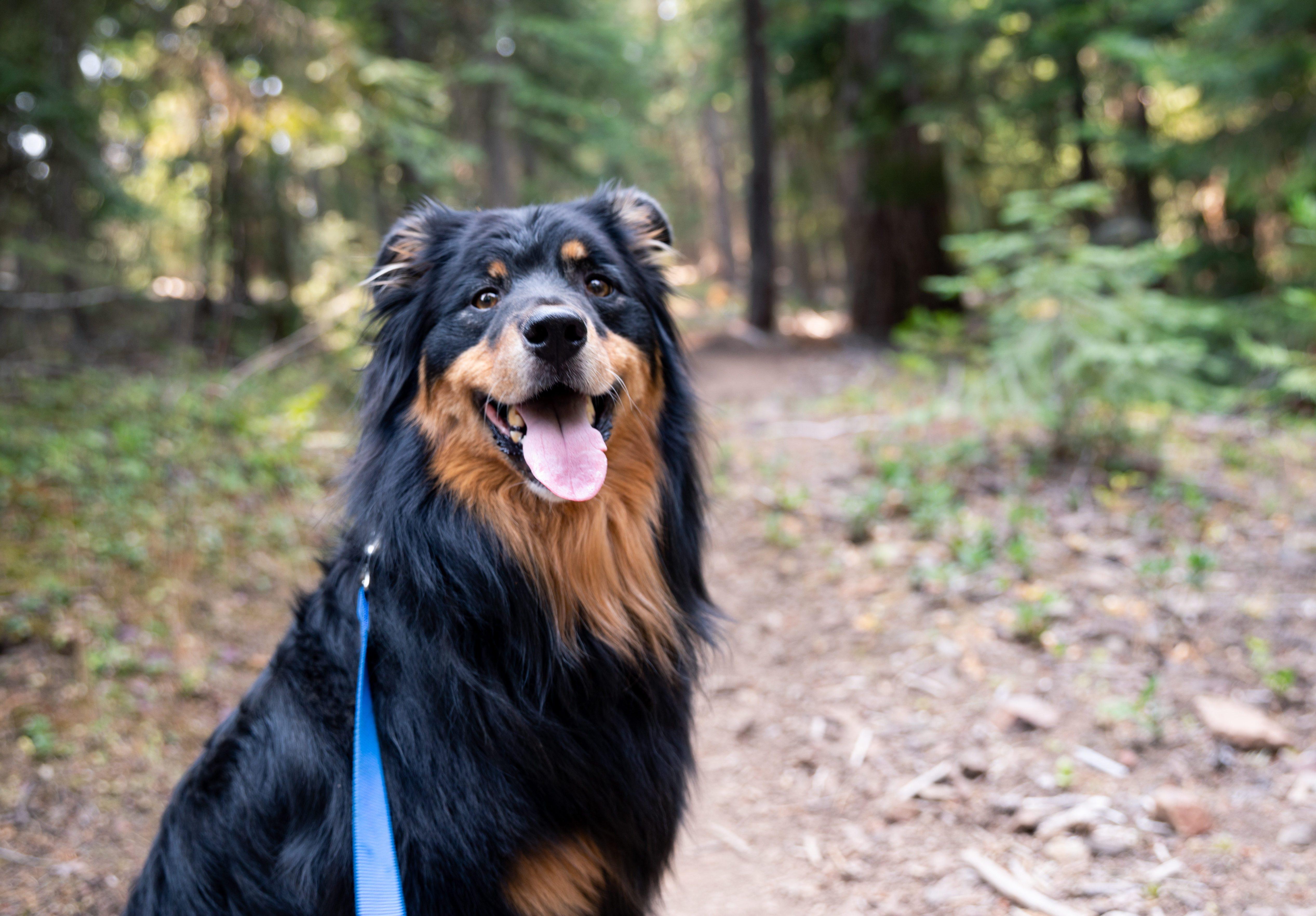 Black and brown Australian Shepherd dog on leash on the Pacific Crest hiking trail near Ashland, Oregon.