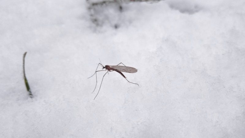 mosquito in the winter in the snow