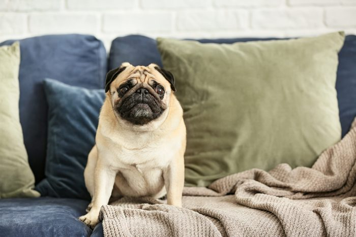 Cute pug dog on sofa at home