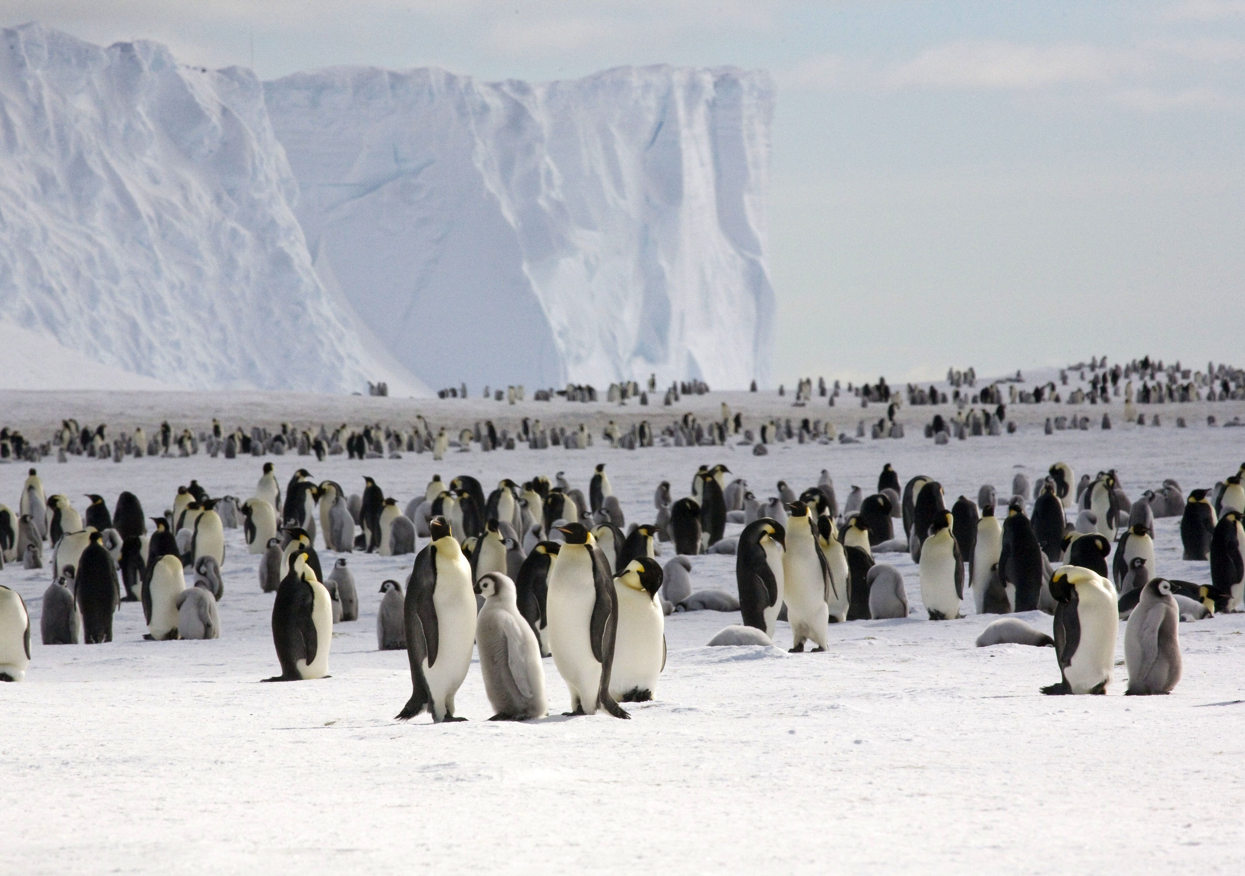 Mandatory Credit: Photo by British Antarctic Survey/Shutterstock (1695988h) Emperor penguin colony Scientists count Antarctica penguin population from space - Apr 2012 *Full story: http://www.rexfeatures.com/nanolink/g35u Scientists have discovered there are twice as many emperor penguins in Antarctica as previously thought after counting them from space. The team, including members of the British Antarctic Survey, used very high resolution satellite images to estimate the number of penguins at each colony in the first full census of a species from space. They were able to identify the penguins in the pictures as their black and white plumage clearly stood out against the ice and snow. The scientists were able to analyse 44 emperor penguin colonies, with seven previously unknown. They counted 595,000 birds, almost double the previous estimates of 270,000 to 350,000 birds. Emperor penguins breed in areas that are very difficult to study because they are remote and often in accessible with temperatures as low as -50C.
