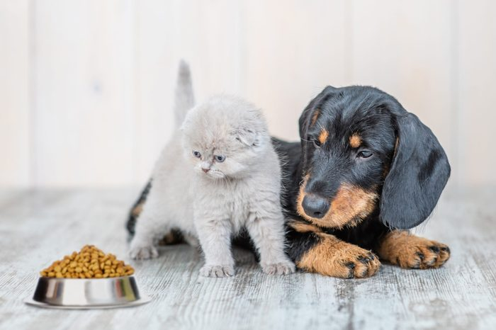 Cute baby kitten sitting with dachshund puppy on the floor at home and looking at a bowl of dry food