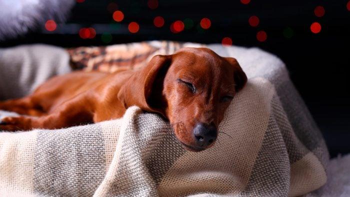 Little cute dachshund puppy on dreamy background