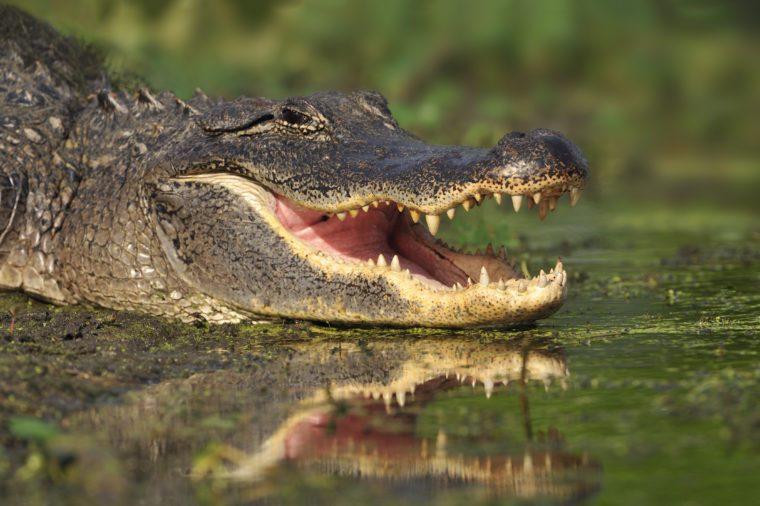 Alligator (Alligator. mississippiensis) - Southern Texas
