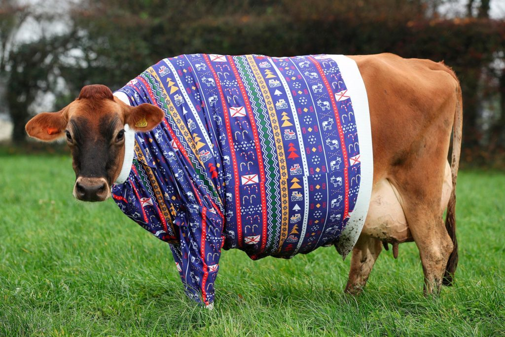 A Jersey cow wearing a Chirstmas sweater