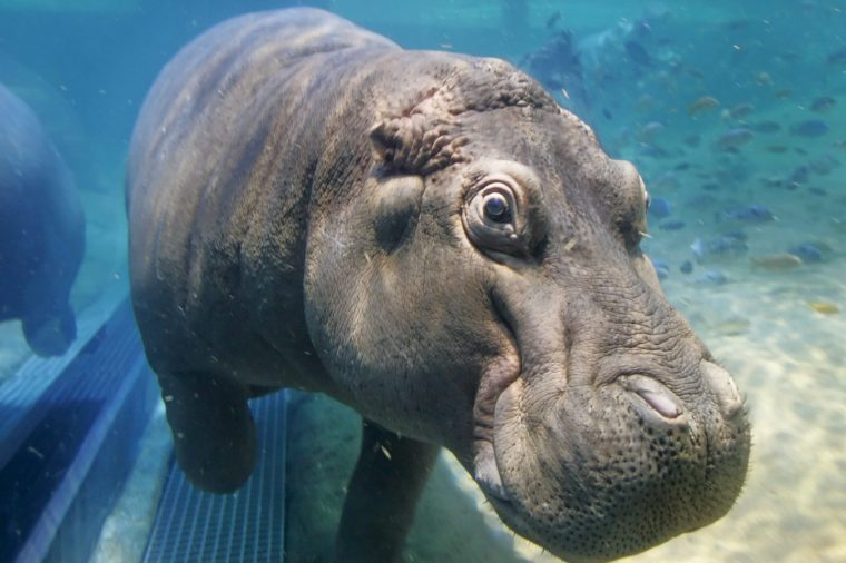 Genny, One of Two Hippopotamuses in the Exhibit Swims at the New Adventure Aquarium in Camden New Jersey Wednesday 25 May 2005