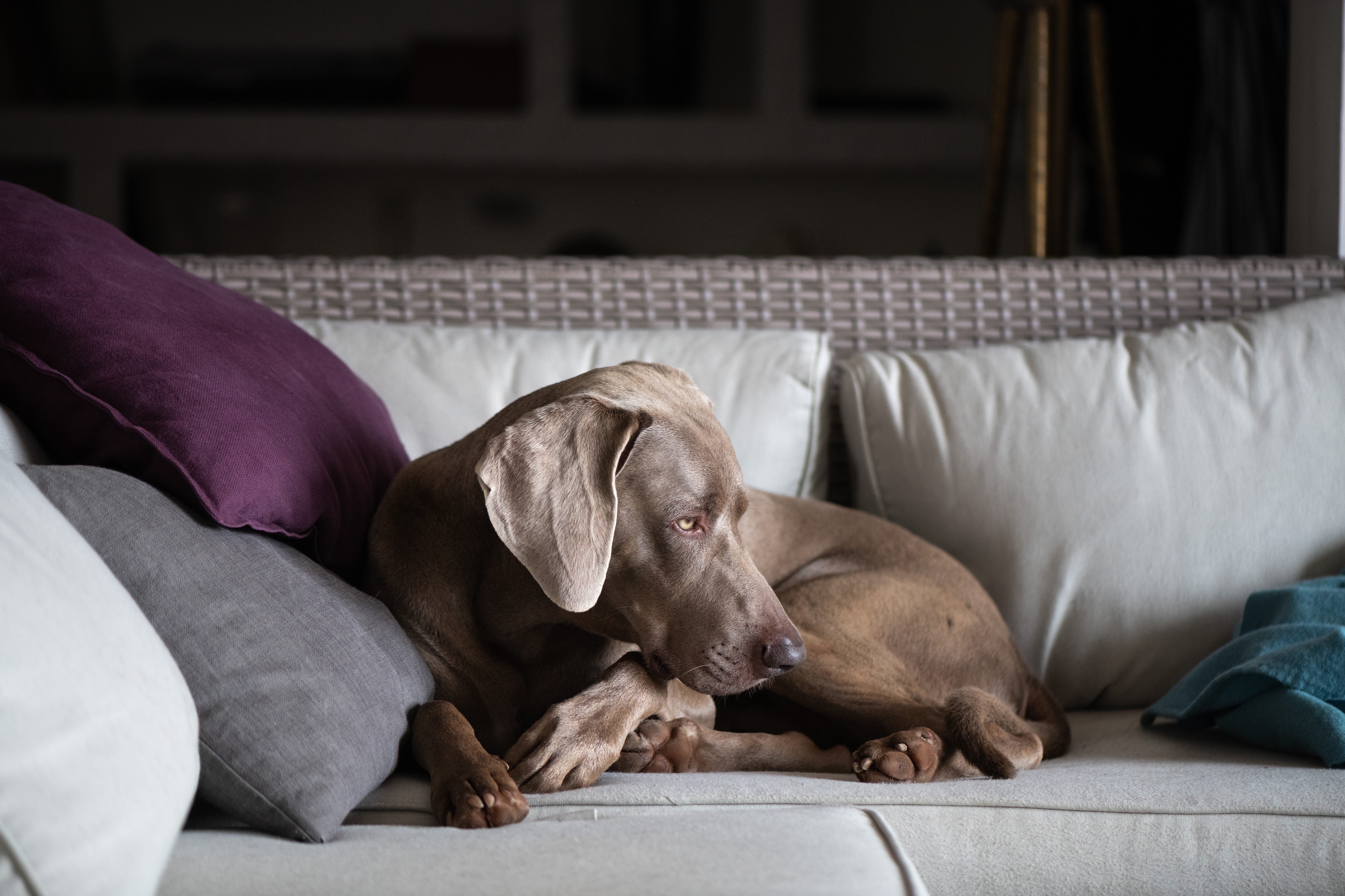 A Weimaraner Dog sitting on the couch in the Living Room