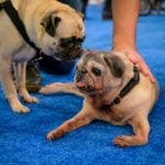 Meet the Adorable Dogs Competing in the American Rescue Dog Show