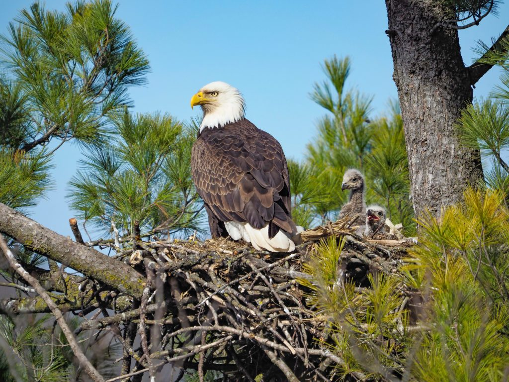bald eagle spring