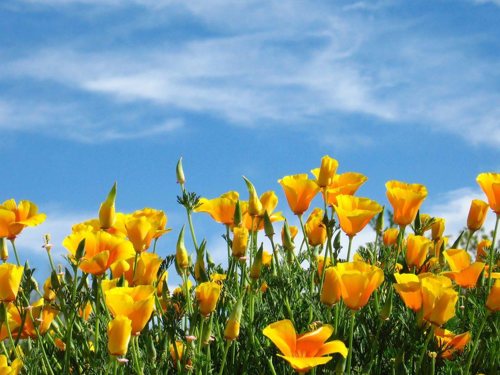 orange poppies spring