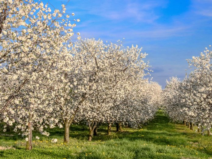 orchards clouds spring