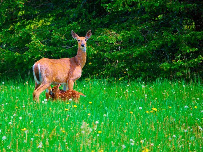deer feeding fawns green grass spring