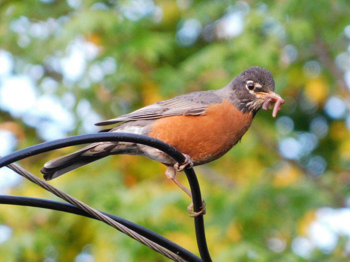 robin bird spring