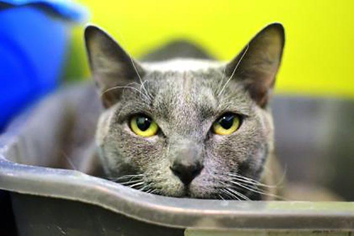 gemini shelter cat