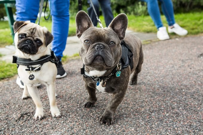 A young pug and french bulldog posing together for the camera, while being taken on a walk.