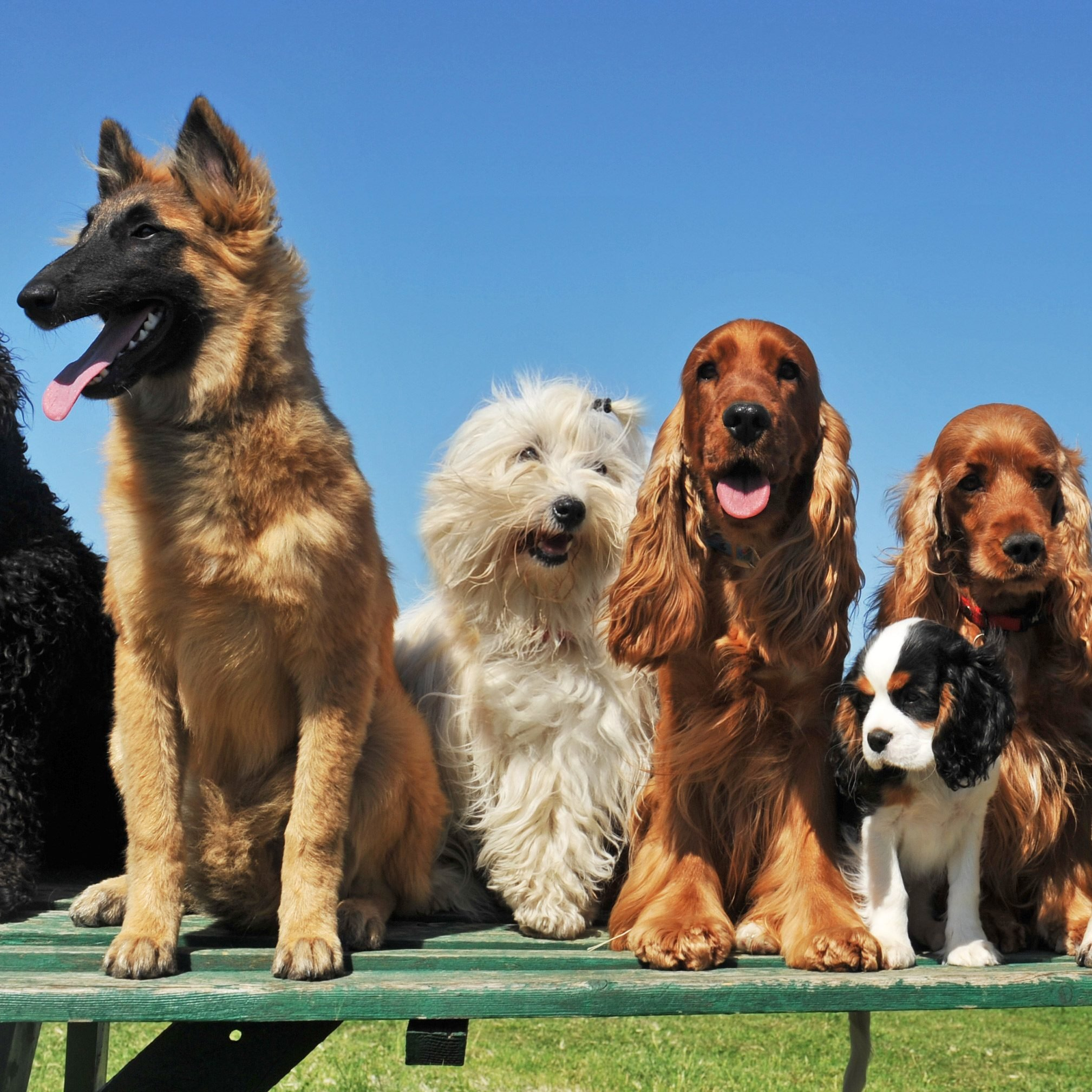 How Many Breeds of Dogs Are There in the World?
