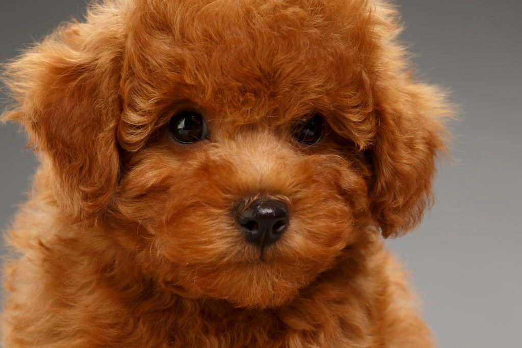 Cute brown miniature poodle puppy close up on gray background