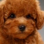 14 Puppies That Look Like Teddy Bears