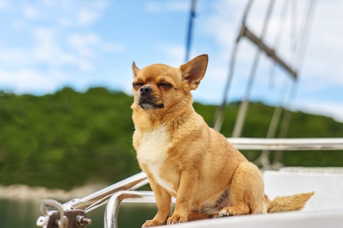 Chihuahua dog low maintenance breed