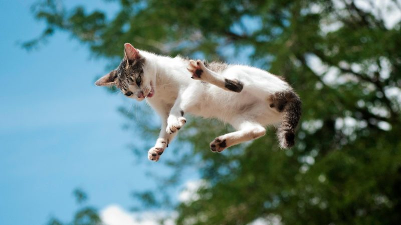 cat in the air