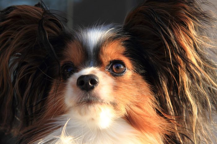head of smart papillon dog lap dog