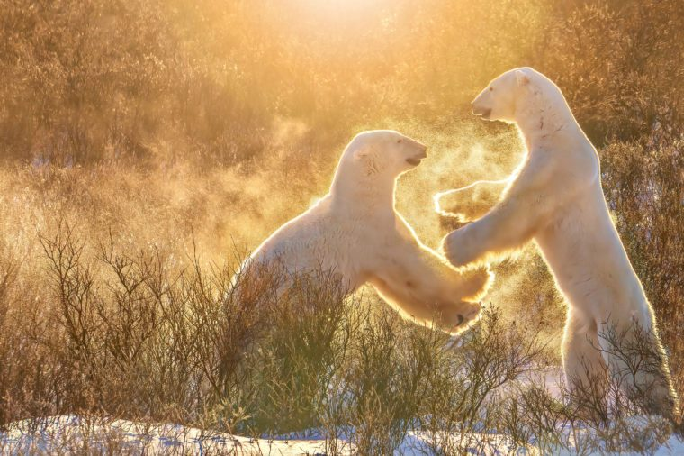 two polar bears standing on their hind legs morning sun snow