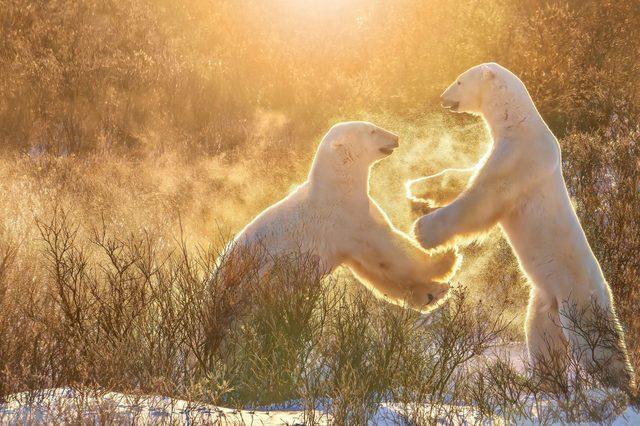 two polar bears standing on their hind legs morning sun snow