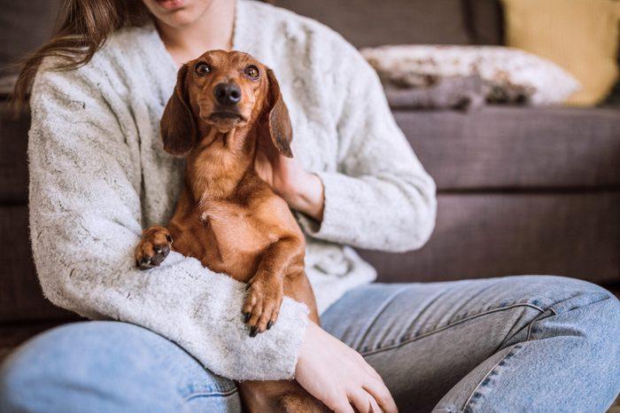 Cute Dachshund being cuddled in lap dog