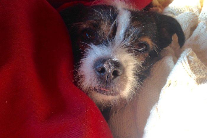 Border terrier lap dog