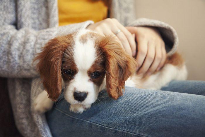 A Cavalier King Charles Spaniel lap dog puppy