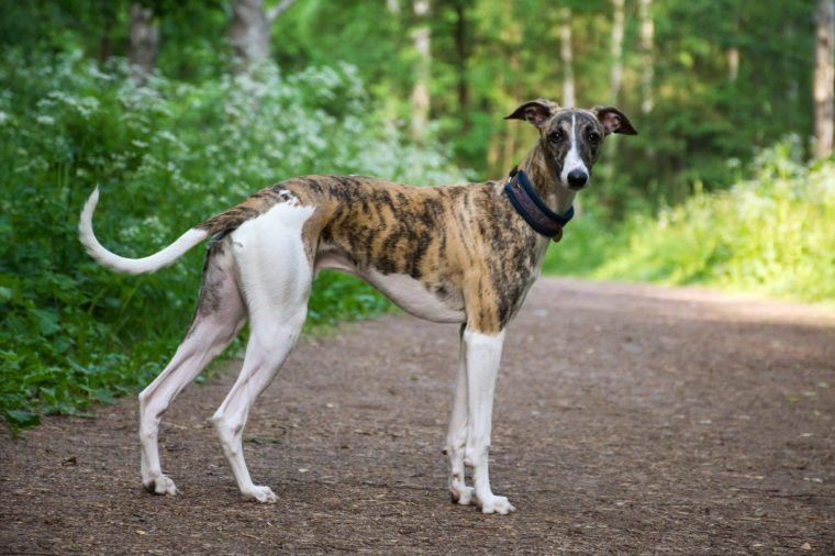 greyhound low maintenance breed